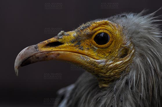 Birds- Egyptian Vulture (Neophron percnopterus) - Egyptian vulture, Aligarh, Uttar Pradesh, India- January 21, 2017:  Close-up of an Egyptian Vulture with dark background at Aligarh, Uttar Pradesh, India. by Anil