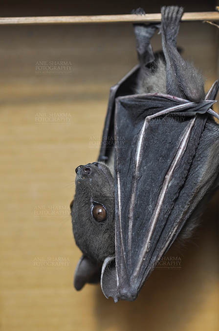 Wildlife- Indian Fruit Bat (Petrous giganteus) - Indian Fruit Bats (Pteropus giganteus) Noida, Uttar Pradesh, India- January 19, 2017: Side pose of an Indian fruit bat photographed in a captive situation in its typical roosting grooming poses while hanging upside down from a limb at Noida, Uttar Pradesh by Anil
