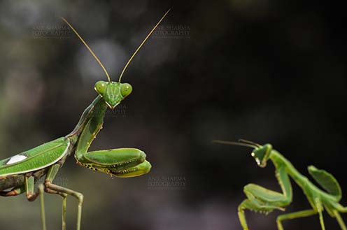 Insect- Praying Mantis - Close-up of head of a Praying Mantis, Mantodea (or mantises, mantes) with dark greenish background in a garden at Noida, Uttar Pradesh, India. by Anil