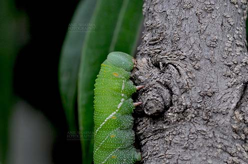Insects- Caterpillar - Noida, Uttar Pradesh, India- July 27, 2016: A big green caterpillar on a tree branch at Noida, Uttar Pradesh, India. by Anil