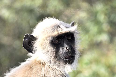 Wildlife- Gray or Common Indian Langur (India) - Close-up of a baby black footed Gray Langur (Semnopithecus hypoleucos) sitting on a tree branch at Bhopal, Madhya Pradesh, India. by Anil
