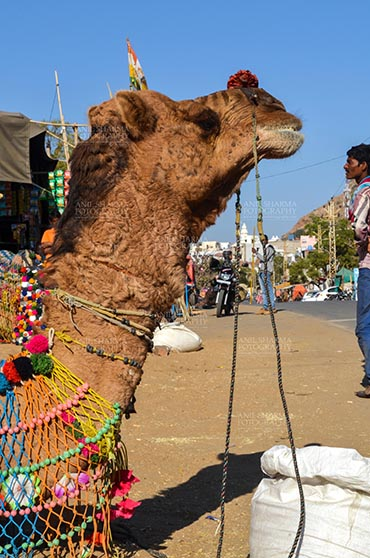 Fairs- Pushkar Fair (Rajasthan) - Pushkar, Rajasthan, India- January 16, 2018: Close-up of a beautifully decorated Camel at Pushkar fair, Rajasthan, India. by Anil