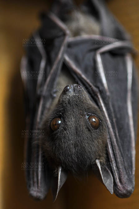 Wildlife- Indian Fruit Bat (Petrous giganteus) - Indian Fruit Bats (Pteropus giganteus) Noida, Uttar Pradesh, India- January 19, 2017: An Indian fruit bat hangs with wings folded at Noida, Uttar Pradesh, India. by Anil