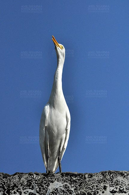 Birds- Cattle Egret (Bubulcus ibis) - Noida, India- September 27, 2015: Cattle Egret (Bubulcus ibis) close-up sitting on a building wall with dark blue sky in the background at Noida, Uttar Pradesh, India. by Anil