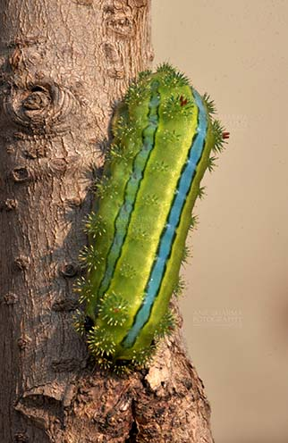 Insects- Caterpillar - Noida, Uttar Pradesh, India- December 29, 2013: A Green-blue color Caterpillar on a tree branch in a garden at Noida, Uttar Pradesh, India. by Anil
