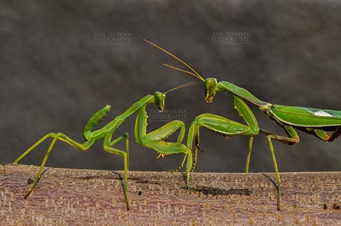 Insect- Praying Mantis - Side view of two Praying Mantis, Mantodea (or mantises, mantes)  in playful mood on a tree branch at Noida, Uttar Pradesh, India by Anil