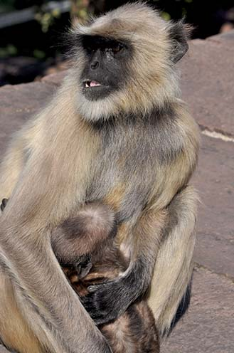Wildlife- Gray or Common Indian Langur (India) - Close-up of a mother black footed Gray Langur (Semnopithecus hypoleucos) with newly born suckling baby in her arms at Bhopal, Madhya Pradesh, India. by Anil