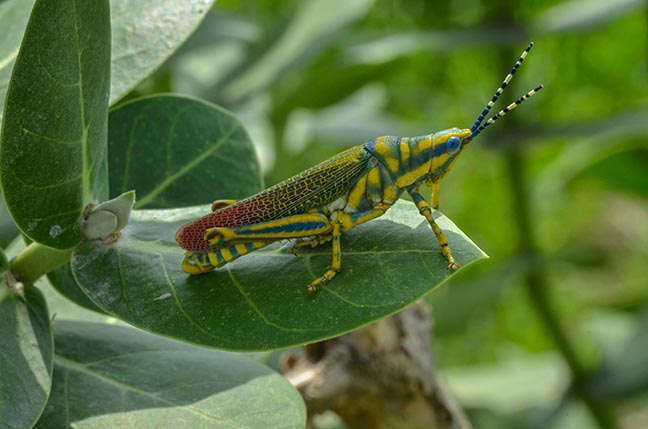 Insects- Indian Painted Grasshopper - An Indian Painted Grasshopper, Poekilocerus Pictus, sitting on a milkweed plant at Noida, Uttar Pradesh, India. by Anil