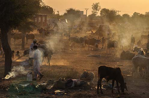 Fairs- Nagaur Cattle Fair (Rajasthan) - Nagaur, Rajasthan, India- Febuary 10, 2011: Dust and smoke evening, farmers with their families cattles and bullcarts at the Nagaur cattle fair, Nagaur, Rajasthan (India). by Anil