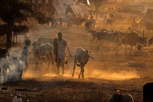 Fairs- Nagaur Cattle Fair (Rajasthan) - Nagaur, Rajasthan, India- Febuary 10, 2011: Smoke and Dusty evening, a buyer with cow and cattles in the background at Nagaur cattle fair, Nagaur, Rajasthan (India). by Anil