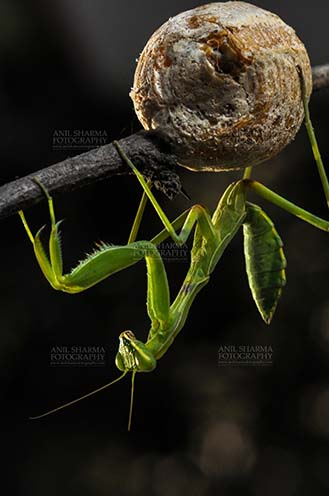 Insect- Praying Mantis - A Praying Mantis,  Mantodea (or mantises, mantes) with ootheca the protective capsule with the eggs on a tree branch at Noida, Uttar Pradesh, India. by Anil