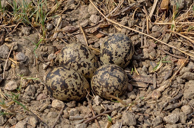 Birds- Eurasian Stone Curlew (Burhinus oedicnemus) - Eurasian stone curlew or stone-curlew (Burhinus oedicnemus) at Noida, Uttar Pradesh, India- June 19, 2017: Eurasian stone's four eggs in nest at Noida field, Uttar Pradesh, India. by Anil