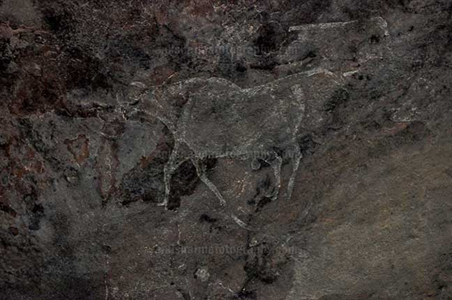 Archaeology- Bhimbetka Rock Shelters (India) - Prehistoric Rock Painting showing running bull in white color at Bhimbetka archaeological site, Raisen, Madhya Pradesh, India by Anil