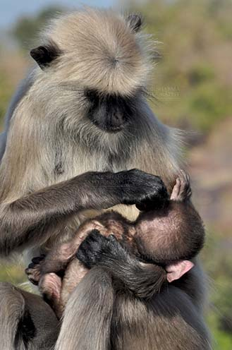 qWildlife- Gray or Common Indian Langur (India) - Mother black footed Gray Langur (Semnopithecus hypoleucos) sitting on a tree branch, taking care of her newly born baby at Bhopal, Madhya Pradesh, India. by Anil