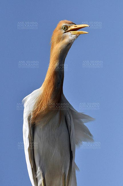 Birds- Cattle Egret (Bubulcus ibis) - Noida, India- September 1, 2013: Cattle Egret (Bubulcus ibis) close-up during breeding season with orange pullme on its head and back at Noida, Uttar Pradesh, India. by Anil Sharma Fotography