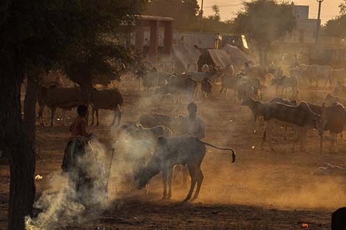 Fairs- Nagaur Cattle Fair (Rajasthan) - Nagaur, Rajasthan, India- Febuary 10, 2011: Dusty evening, a buyer with cow and cattles in the background at Nagaur cattle fair, Nagaur, Rajasthan (India). by Anil Sharma Fotography