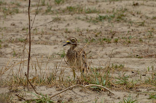 Birds- Eurasian Stone Curlew (Burhinus oedicnemus) - Eurasian stone curlew or stone-curlew (Burhinus oedicnemus) at Noida, Uttar Pradesh, India- June 18, 2017: Front pose of a Female Eurasian stone guarding her nestat Noida, Uttar Pradesh, India. by Anil