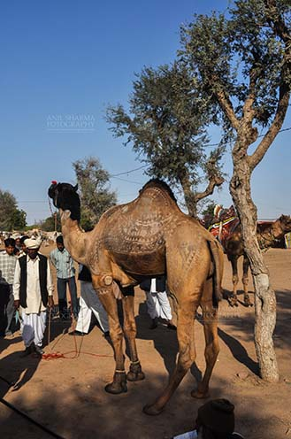 Fairs- Nagaur Cattle Fair (Rajasthan) - Nagaur, Rajasthan, India- Febuary 10, 2011: A young camel with owner and buyers at Nagaur Cattle fair, Nagaur, Rajasthan, India by Anil