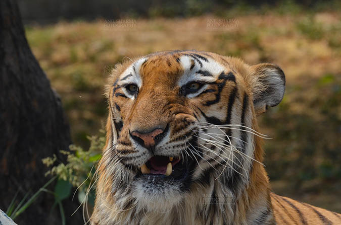 Wildlife- Royal Bengal Tiger (Panthera Tigris Tigris) - Royal Bengal Tiger, New Delhi, India- April 3, 2018: Close-up of a Royal Bengal Tiger (Panthera tigris Tigris) in aggressive mood showing its canines at New Delhi, India. by Anil