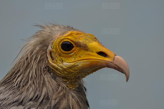 Birds- Egyptian Vulture (Neophron percnopterus) - Egyptian vulture, Aligarh, Uttar Pradesh, India- January 21, 2017: Close-up of an adult Egyptian Vulture with blue background at Aligarh, Uttar Pradesh, India. by Anil Sharma Fotography