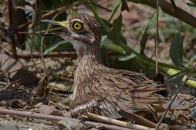 Birds- Eurasian Stone Curlew (Burhinus oedicnemus) - Eurasian stone curlew or stone-curlew (Burhinus oedicnemus) at Noida, Uttar Pradesh, India- June 19, 2017: Close-up of a Female Eurasian stone sitting on her Eggs in a field at Noida, Uttar Pradesh, India. by Anil Sharma Fotography