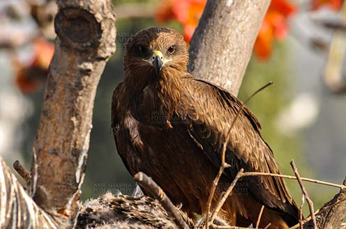 Birds-  Black Kite Milvus migrans (Boddaert) - Close-up shot of My Great Mom. by Anil Sharma Fotography