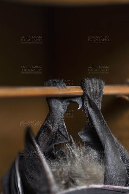 Wildlife- Indian Fruit Bat (Petrous giganteus) - Indian fruit bat (Pteropus giganteus) claws, Noida, Uttar Pradesh, India- January 19, 2017: An Indian fruit bat hanging upside down from a limb showing claws at Noida, Uttar Pradesh, India. by Anil