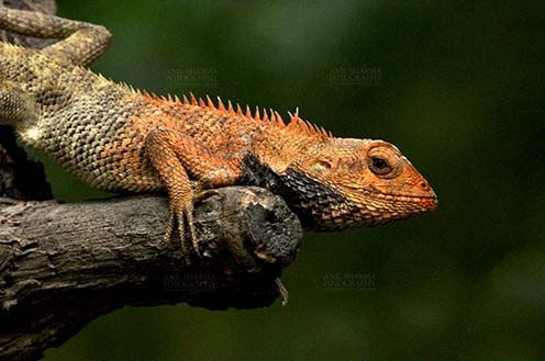 Reptiles- Oriental Garden Lizard - Noida, Uttar Pradesh, India- July 20, 2012:  Oriental Garden Lizard, Eastern Garden Lizard or (Calotes versicolor) adult resting on tree stump with breeding color at Noida, Uttar Pradesh, India. by Anil
