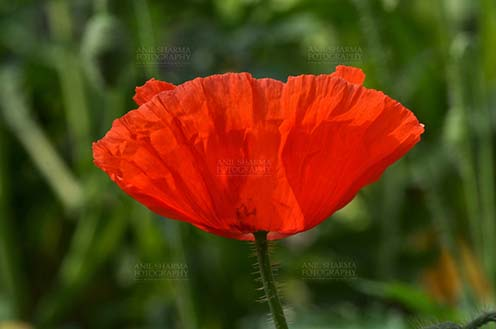 Flowers- Poppy Flowers (Papaver oideae) - Beautiful Red Color Poppy (Papaver oideae) flower with green color background blooming in a garden at Noida, Uttar Pradesh, India. by Anil