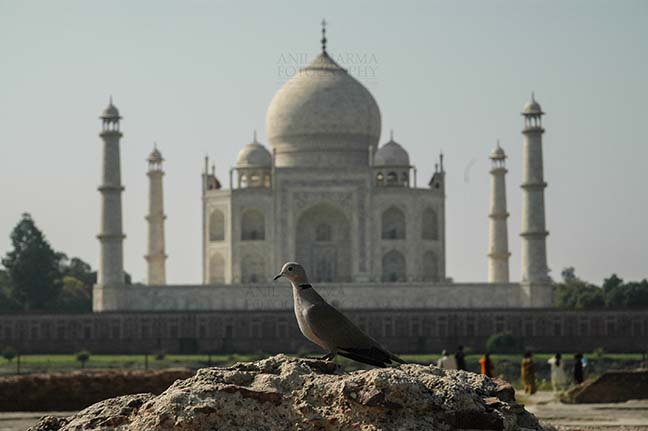 Monuments- Taj Mahal, Agra (India) - A Little brown Dove sitting on a mount with Taj Mahal in the background at Agra, India. by Anil