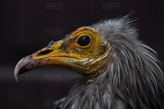 Birds- Egyptian Vulture (Neophron percnopterus) - Egyptian vulture, Aligarh, Uttar Pradesh, India- January 21, 2017: Close-up of an adult Egyptian Vulture with dark background at Aligarh, Uttar Pradesh, India. by Anil