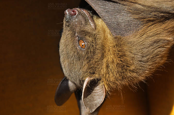 Wildlife- Indian Fruit Bat (Petrous giganteus) - Indian Fruit Bats (Pteropus giganteus) Nostrils, Noida, Uttar Pradesh, India- January 19, 2017: Close-up of an Indian fruit bat hanging upside down showing face detail at Noida, Uttar Pradesh, India. by Anil