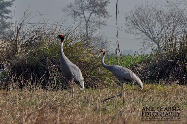 Birds- Sarus Crane (Grus Antigone) - Mom Sarus Crane, Grus Antigone (Linnaeus) in an agricultural field with her chick at Greater Noida, Uttar Pradesh, India. by Anil
