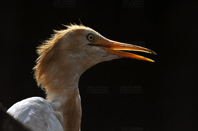 Birds- Cattle Egret (Bubulcus ibis) - Noida, India- September 1, 2013: A Young Cattle Egret (Bubulcus ibis) close-up of head during breeding season with orange pullme on its head and back at Noida, Uttar Pradesh, India. by Anil Sharma Fotography