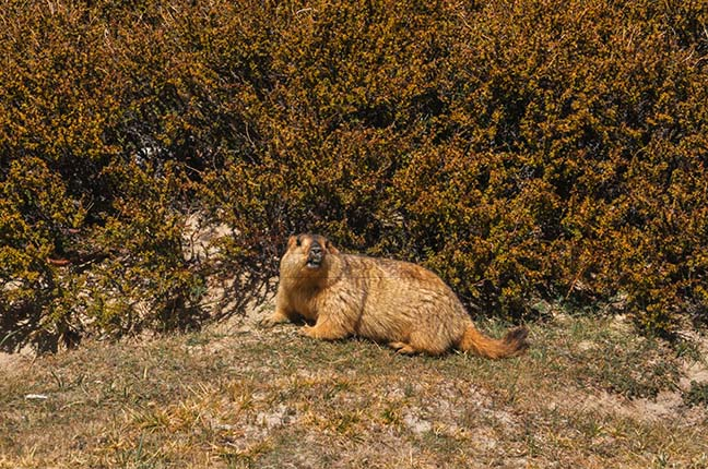Wildlife- The Himalayan Marmots, J \x26 K (India) - A young Himalayan Marmots in search of food. by Anil