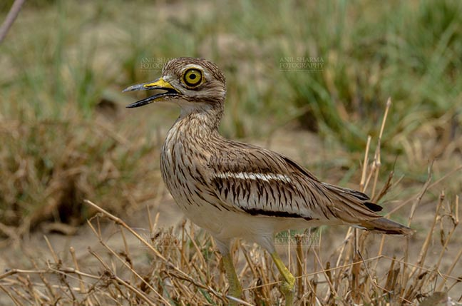 Birds- Eurasian Stone Curlew (Burhinus oedicnemus) - Eurasian stone curlew or stone-curlew (Burhinus oedicnemus) at Noida, Uttar Pradesh, India- June 18, 2017: A Female Eurasian stone standing in the dry grass land guarding her nest  at Noida, Uttar Pradesh, India. by Anil