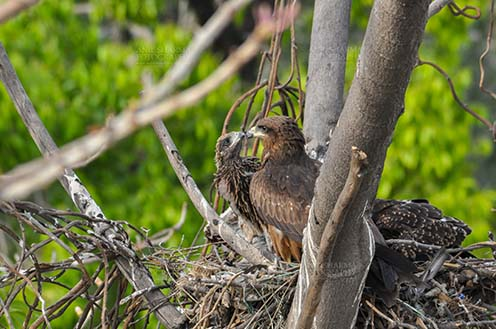 "Birds-  Black Kite Milvus migrans (Boddaert) - ""Love you Mom""- Black Kite Chick. by Anil"