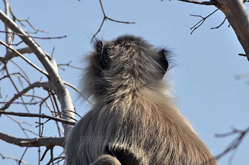 Wildlife- Gray or Common Indian Langur (India) - Back pose of a lonely male black footed Gray Langur (Semnopithecus hypoleucos) sitting on a tree branch at Bhopal, Madhya Pradesh, India. by Anil