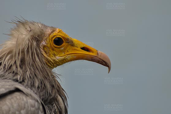Birds- Egyptian Vulture (Neophron percnopterus) - Egyptian vulture, Aligarh, Uttar Pradesh, India- January 21, 2017: Close-up of an adult Egyptian Vulture with blue background at Aligarh, Uttar Pradesh, India. by Anil