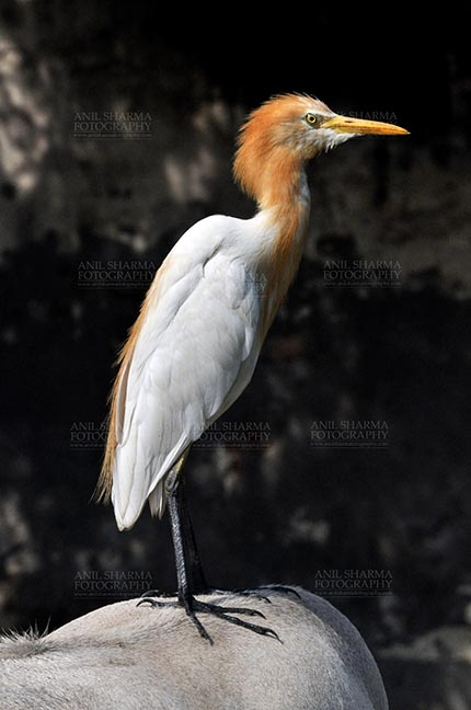 Birds- Cattle Egret (Bubulcus ibis) - Noida, India- September 17, 2013: Cattle Egret (Bubulcus ibis) close-up of head during breeding season with orange pullme on its head and back at Noida, Uttar Pradesh, India. by Anil Sharma Fotography