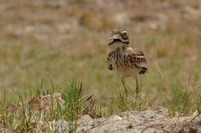 Birds- Eurasian Stone Curlew (Burhinus oedicnemus) - Eurasian stone curlew or stone-curlew (Burhinus oedicnemus) at Noida, Uttar Pradesh, India- June 18, 2017: A Female Eurasian stone guarding her nest at Noida, Uttar Pradesh, India. by Anil Sharma Fotography