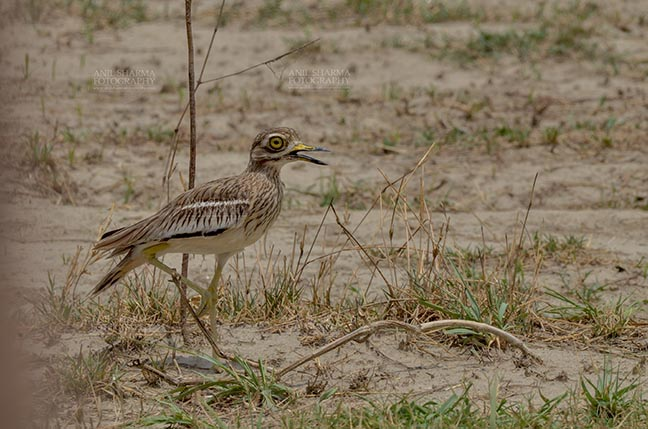 Birds- Eurasian Stone Curlew (Burhinus oedicnemus) - Eurasian stone curlew or stone-curlew (Burhinus oedicnemus) at Noida, Uttar Pradesh, India- June 18, 2017: A Female Eurasian stone standing on one leg guarding her nest at Noida, Uttar Pradesh, India. by Anil Sharma Fotography