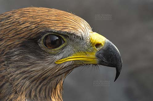 Birds-  Black Kite Milvus migrans (Boddaert) - Close- Up Black Kite. by Anil Sharma Fotography
