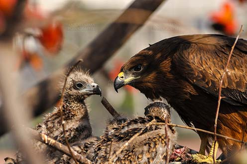 Birds-  Black Kite Milvus migrans (Boddaert) - Listening to Mom's Advice. by Anil