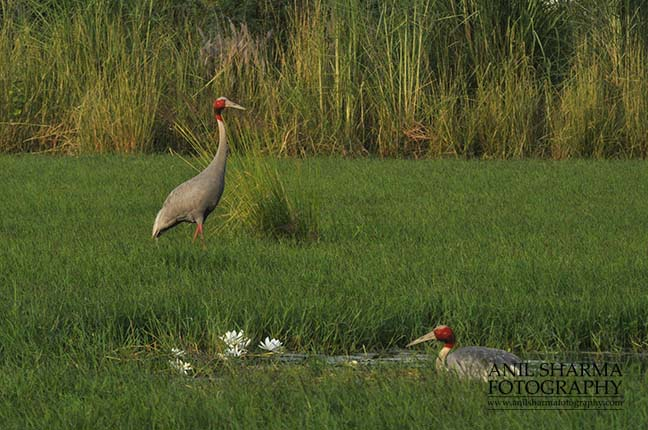 Birds- Sarus Crane (Grus Antigone) - Mom Sarus Crane, Grus Antigone (Linnaeus) sitting on her eggs while male guarding at Greater Noida, Uttar Pradesh, India. by Anil