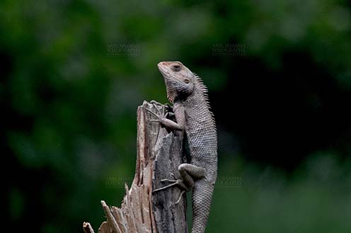 Reptiles- Oriental Garden Lizard - Noida, Uttar Pradesh, India- June 26, 2016: Oriental Garden Lizard, Eastern Garden Lizard or Changeable Lizard (Calotes versicolor) adult resting on a tree stump, Noida, Uttar Pradesh, India. by Anil