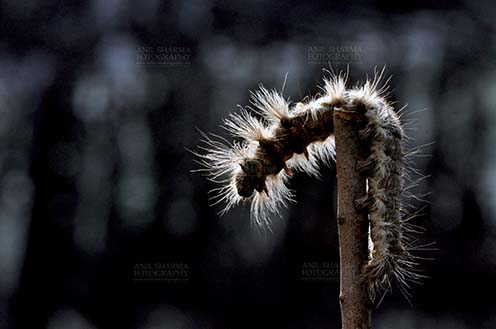 Insects- Caterpillar - Noida, Uttar Pradesh, India- November 13, 2013: A Hairy Caterpillar on a tree branch in a garden at Noida, Uttar Pradesh, India. by Anil