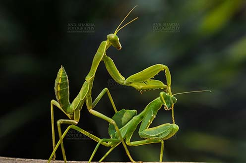 Insect- Praying Mantis - Side view of two Praying Mantis, Mantodea (or mantises, mantes) mating on a tree branch in garden at Noida, Uttar Pradesh, India. by Anil