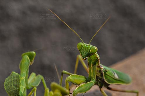 Insect- Praying Mantis - Close-up of head of a Praying  Mantis, Mantodea (or mantises, mantes) in a garden at Noida, Uttar Pradesh, India by Anil