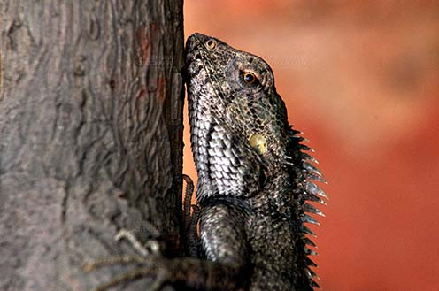 Reptiles- Oriental Garden Lizard - Noida, Uttar Pradesh, India- May 10, 2012: Close-up of an Oriental garden lizard with red eyes, climbing tree trunk in a garden at Noida, Uttar Pradesh, India. by Anil